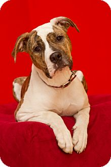 Terrier (Unknown Type, Medium)/Boxer Mix Dog for adoption in Troy, Michigan - Roxy