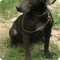 Adopt A Pet :: Dash - Spring Valley, NY