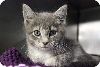 Domestic Shorthair Kitten for adoption in Voorhees, New Jersey - Kittens! Kittens! Kittens!