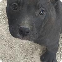Adopt A Pet :: Shelly's Spencer - Las Vegas, NV