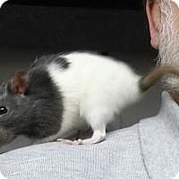 Adopt A Pet :: DRUSILLA and DORCAS - Philadelphia, PA