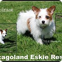 Adopt A Pet :: Yeolmae - Elmhurst, IL