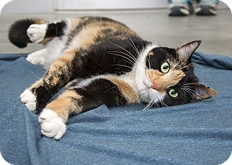 Domestic Shorthair Cat for adoption in Wilmington, Delaware - Naomi *MY FEE IS WAIVED*