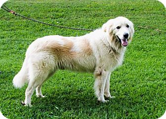Great Pyrenees Mix Dog for adoption in Hagerstown, Maryland - CHARLIE