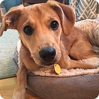 Adopt A Pet :: Karen O - Jersey City, NJ