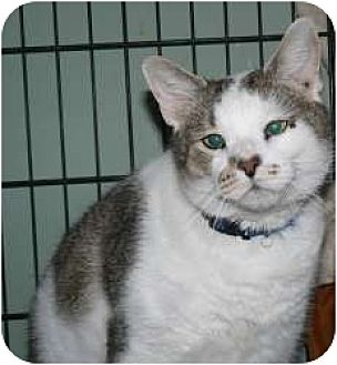 Domestic Shorthair Cat for adoption in Stafford, Virginia - Gunny