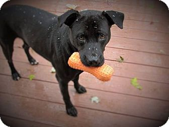 Labrador Retriever/Pit Bull Terrier Mix Dog for adoption in Transfer, Pennsylvania - Benny