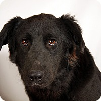 Adopt A Pet :: August Flat Coated Retriever - St. Louis, MO