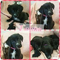 Adopt A Pet :: Donna - Gainesville, GA