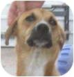 Whippet/Basenji Mix Dog for adoption in Poway, California - Lou-Lou