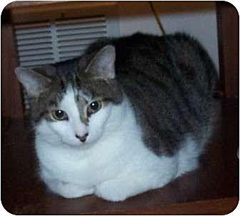 Domestic Shorthair Cat for adoption in Columbus, Ohio - Sophie