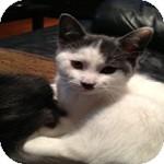 Domestic Shorthair Kitten for adoption in Ottawa, Ontario - Pez