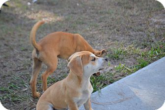 "Chihuahua/Beagle Mix Puppy for adoption in Weeki Wachee, Florida - ""Games"" puppies"