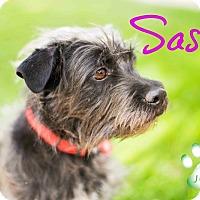 Adopt A Pet :: Sasha - Scottsdale, AZ