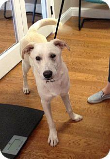 Labrador Retriever Mix Dog for adoption in Garland, Texas - Logan