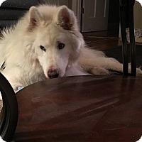 Adopt A Pet :: Sno - Crystal Lake, IL