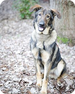 German Shepherd Dog Dog for adoption in Greensboro, North Carolina - Bear 2