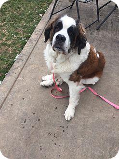 St. Bernard Dog for adoption in Harrisburg, Pennsylvania - Daisey