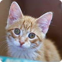 Adopt A Pet :: Nacho - Troy, MI