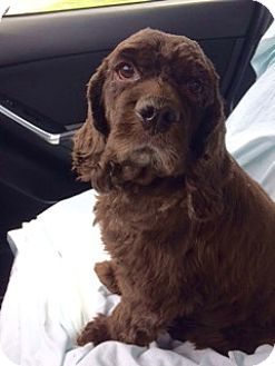 Cocker Spaniel Dog for adoption in Sugarland, Texas - Winston Clark