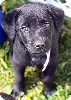 Labrador Retriever/Chow Chow Mix Puppy for adoption in West Grove, Pennsylvania - Teresa