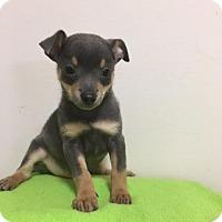 Adopt A Pet :: Duke - Baton Rouge, LA