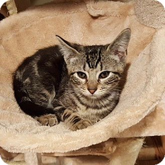 Domestic Shorthair Kitten for adoption in Long Beach, New York - Samanthie