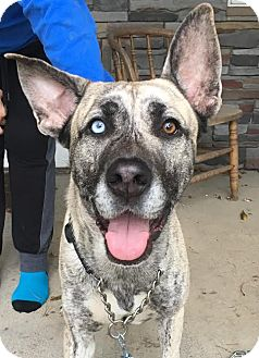 Great Dane Mix Dog for adoption in Huntley, Illinois - Frankie