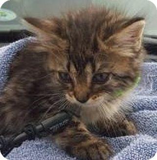 Domestic Mediumhair Kitten for adoption in St.Ann, Missouri - Ripple