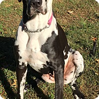 Great Dane Dog for adoption in Hanover, Maryland - Oreonna
