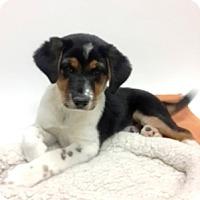 Adopt A Pet :: Tango - Show Low, AZ