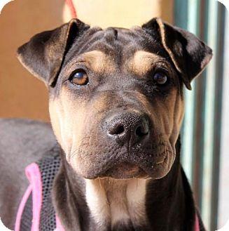 Shar Pei/Doberman Pinscher Mix Puppy for adoption in Albuquerque, New Mexico - Ellie Mae