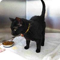 Domestic Mediumhair Cat for adoption in Springfield, Massachusetts - FUJI