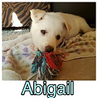 Adopt A Pet :: Abigail - New Milford, CT