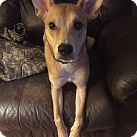 Adopt A Pet :: Fawn - WESTMINSTER, MD