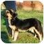 Photo 4 - Dachshund/German Shepherd Dog Mix Puppy for adoption in Bowie, Maryland - Casey