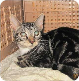 Domestic Shorthair Cat for adoption in Bayonne, New Jersey - Cloe