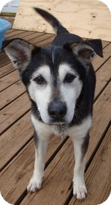 Siberian Husky Dog for adoption in Wilmington, Massachusetts - Thomas