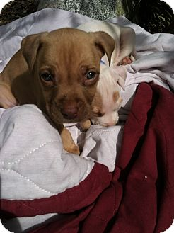 American Pit Bull Terrier Mix Puppy for adoption in Katy, Texas - Tucker