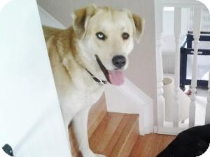Great Pyrenees/Labrador Retriever Mix Dog for adoption in Saskatoon, Saskatchewan - Belle