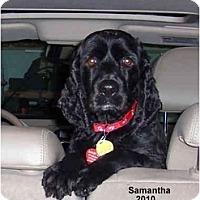 Adopt A Pet :: Samantha - Tacoma, WA