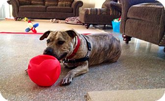 American Bulldog Mix Dog for adoption in Boca Raton, Florida - MINNIE MUFFIN