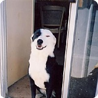 Border Collie Mix Dog for adoption in Tonopah, Arizona - Artemus