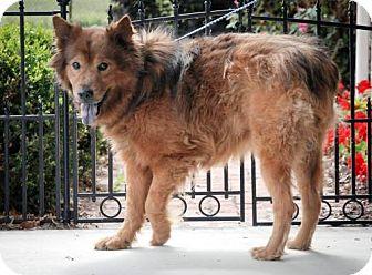 Australian Shepherd/Chow Chow Mix Dog for adoption in Dublin, Virginia - Nelson