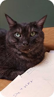 Domestic Shorthair Cat for adoption in Albemarle, North Carolina - Storm
