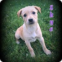 Adopt A Pet :: Shye - Denver, NC