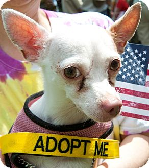Chihuahua Mix Dog for adoption in Mt. Prospect, Illinois - Pip