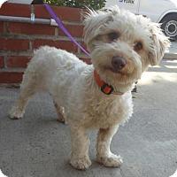 Adopt A Pet :: Tammy - Seattle, WA
