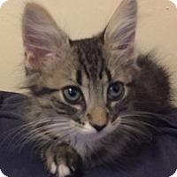 Adopt A Pet :: Mickey - Arlington, VA