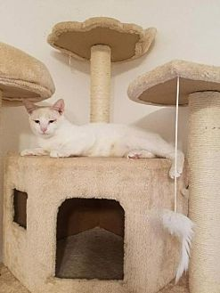 Domestic Shorthair Cat for adoption in Gilberts, Illinois - Momma Kindle